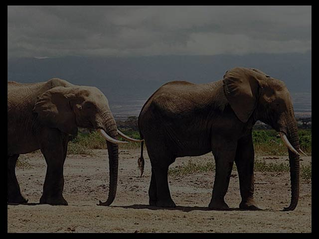 elephants background 640 x480 pixels