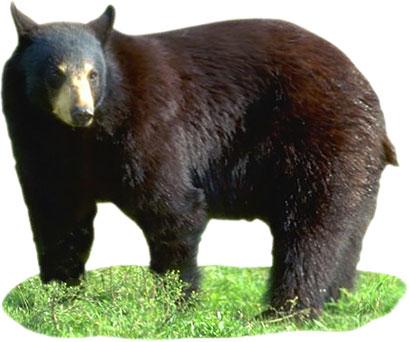 black bear standing
