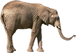 elephant standing with trunk out