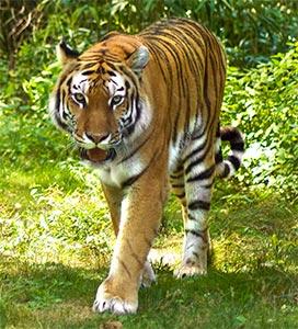 tiger photo image