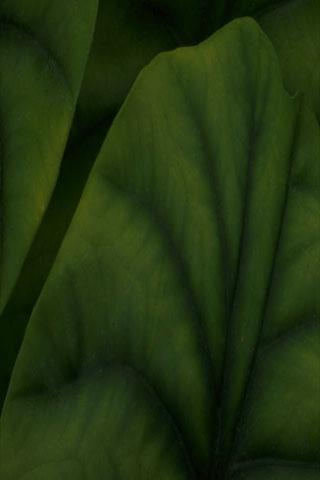 green leaves background 320 x 480 pixels