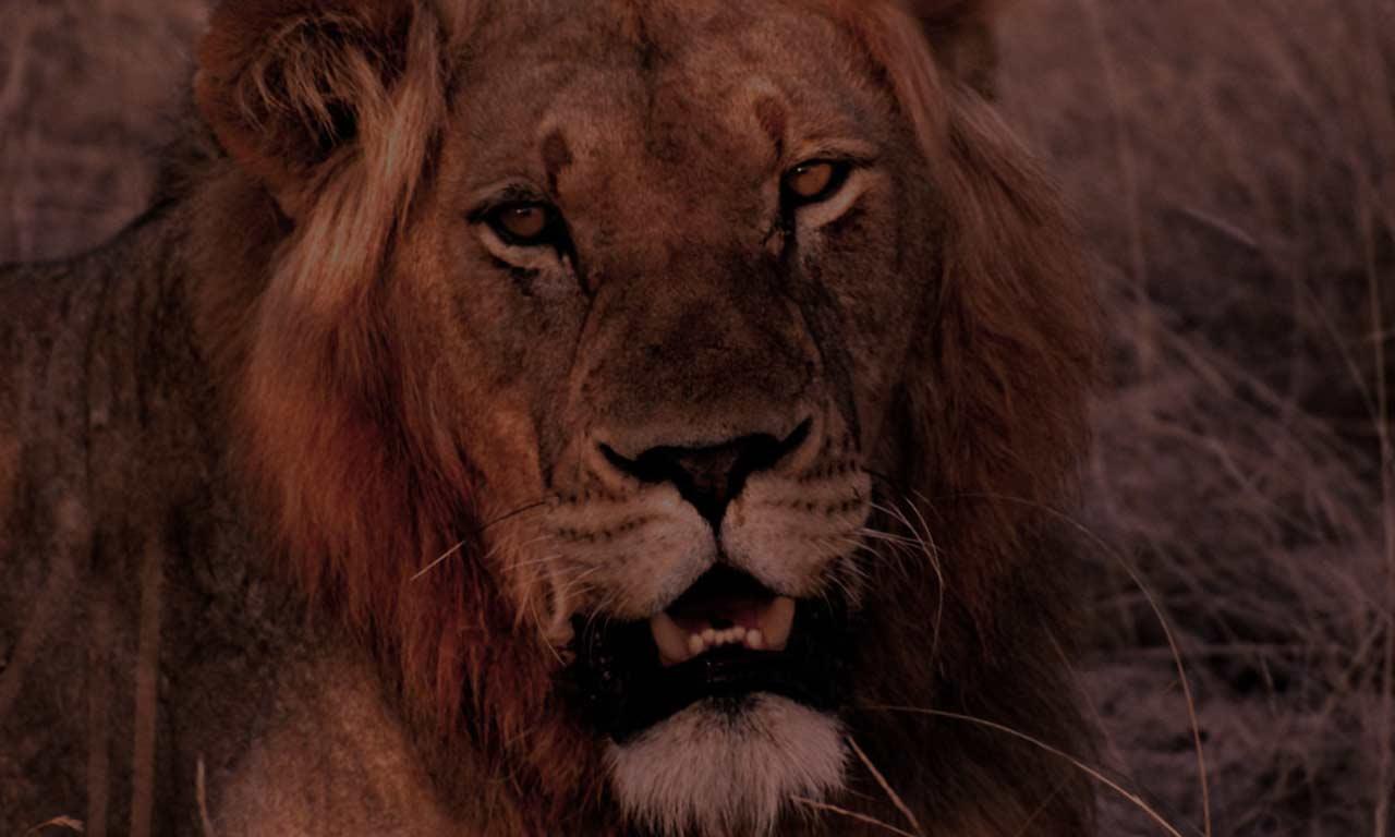 3d lion 1280 - photo #9