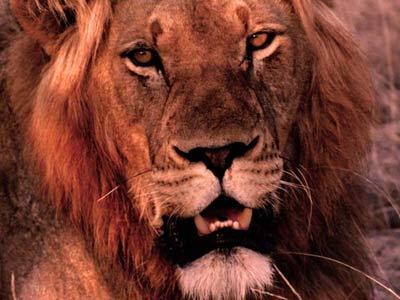male lion background image