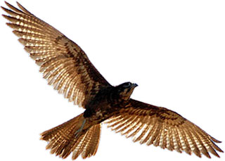 brown falcon in flight