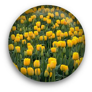 flower button yellow poppies