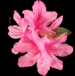 pink Azaleas on black