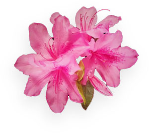pink flowers JPEG